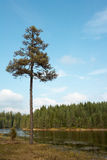 Lonely pine tree Stock Image