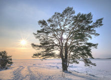 A lonely pine tree stock images