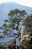 Lonely pine tree. On a cliff stock images