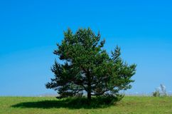 Lonely pine tree Royalty Free Stock Photo