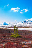 Lonely pine tree on a bog with mountains in the background Royalty Free Stock Photo