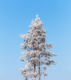 Lonely pine tree covered with frost on a calm sunny cold winter Royalty Free Stock Image