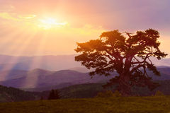 Lonely pine tree in the early morning royalty free stock image