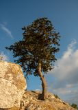 Lonely pine tree at the edge of a rocky surface royalty free stock images