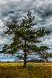 Lonely pine tree in field on background of stormy Royalty Free Stock Photography