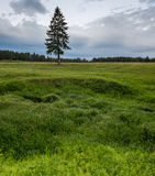 Lonely pine tree, green grass Stock Photography