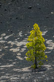 Lonely pine tree in La Palma Stock Image