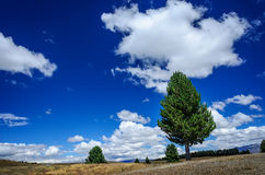 Lonely pine tree on a meadow Royalty Free Stock Photography