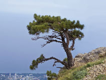 Free Lonely Pine Tree On The Slope Of Mount AI-Petri Stock Photography - 54207322