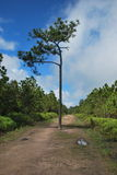 The lonely pine tree at Phukradueng. The two pine tree in a middle on the trail at Phukradueng Royalty Free Stock Image