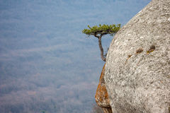 Lonely pine tree on rocks top Royalty Free Stock Photo