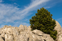Lonely pine tree on rocky ground Royalty Free Stock Photo