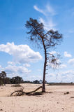 Lonely pine tree in the sand Royalty Free Stock Photo