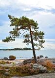 Lonely pine tree on seashore. Cliffs on Baltic Sea Royalty Free Stock Image