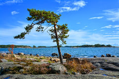 Lonely pine tree on seashore II Royalty Free Stock Photos