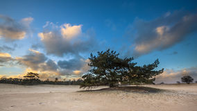 Lonely Pine Tree in shifting sands area Royalty Free Stock Photos