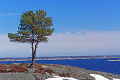 Lonely pine tree on the shore of the fjord Royalty Free Stock Image