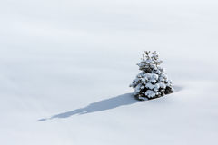 Lonely pine tree on snow Royalty Free Stock Photography