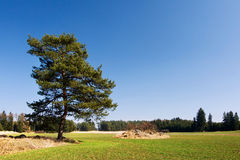 Lonely pine tree in spring landscape Royalty Free Stock Photo