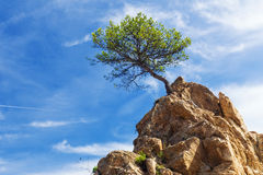 Lonely pine tree standing on a rock royalty free stock photography