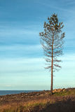 The lonely pine tree survived after the strongest forest fire Royalty Free Stock Photo