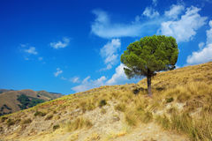 Lonely pine tree on torrid hills of Calabria Stock Image