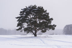 Lonely pine tree under a light snowfall Stock Image