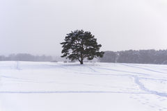 Lonely pine tree under a light snowfall Royalty Free Stock Photo