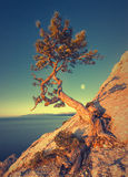 Lonely pine tree_V stock photos