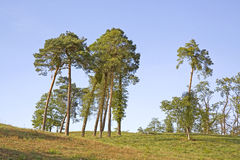 Lonely pine trees. Some lonely pine trees on a green grass hill Stock Photography