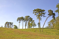 Lonely pine trees. Some lonely pine trees on a green grass hill Stock Images