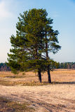 Lonely pine trees on field Royalty Free Stock Photo