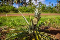 A lonely pineapple growing on a roadside of an rural road, in the island of Uvea Wallis, Wallis and Futuna Wallis-et-Futuna. royalty free stock photos