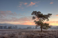 Lonely pinetree on a frosty morning Royalty Free Stock Image