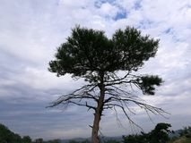 A lonely pinetree on the mountain. The sky is blue,the clouds is white Stock Photo
