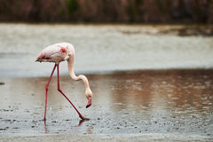 Lonely Pink Flamingo Royalty Free Stock Image