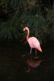 Lonely pink Flamingo in the wild nature. Royalty Free Stock Photography