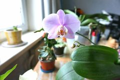 Lonely pink flower Orchid Phalaenopsis. In the background there are other flowers on the house and a window with a window sill Royalty Free Stock Photos