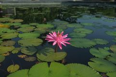 A lonely pink lotus in the pool royalty free stock photography