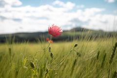 A lonely pink poppy flower in a springtime green field of rye ears and wheat against a blue sky with clouds on a sunny day. Copy space stock photography