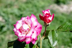 Lonely pink rose with raindrops among the foliage royalty free stock image