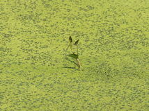 lonely plant in algae filled lake Royalty Free Stock Photography