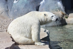 Lonely polar bear Stock Image
