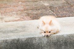 Lonely pomeranian dog waiting for owner to come back Stock Photos