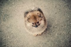 Lonely Pomeranian Spitz on the street Stock Photos