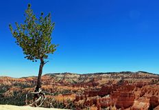 Free Lonely Ponderosa Pine Stadning By Bryce Canyon Stock Image - 161239751