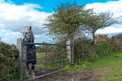 Lonely Pony standing by a metal gate. Stock Image