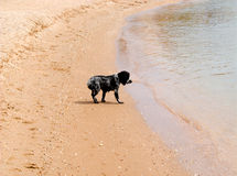 Lonely poodle standing at sandy beach and looking  surf, a lot of copyspace Royalty Free Stock Photography