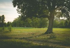 A lonely poplar in evening Park Royalty Free Stock Photography