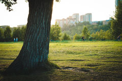 A lonely poplar in evening Park Stock Image